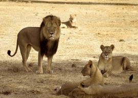 Cecil and his pride
