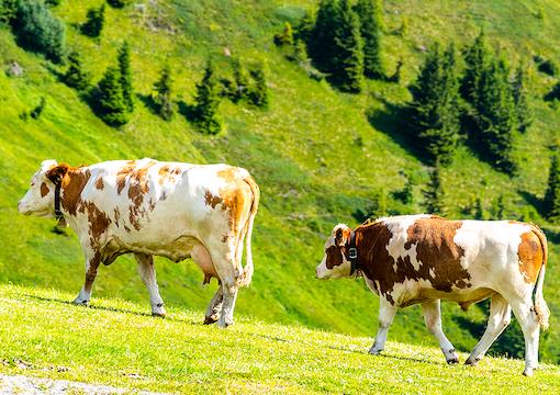 Goodbye, Cows