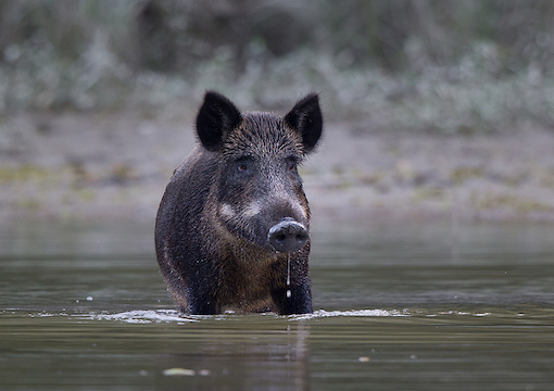 Life's a Boar